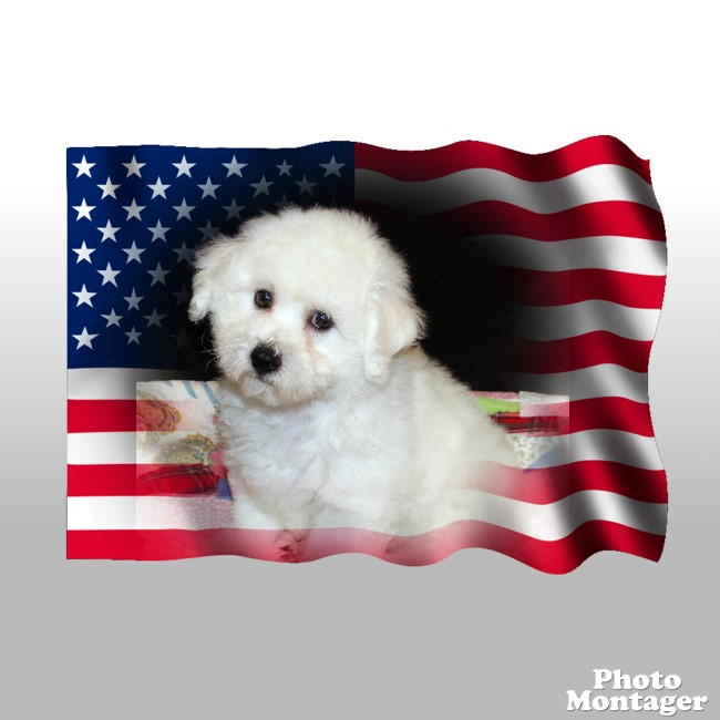 Available Babies - Donna's Dream Bichons