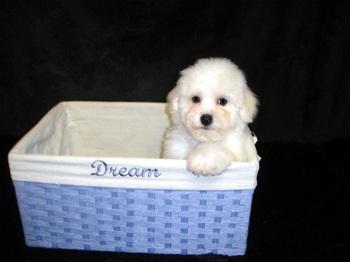 Donna's Dream Bichons - Home